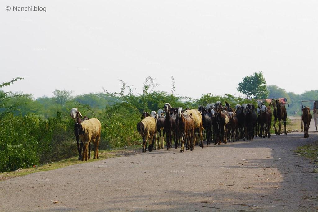 Cattle, Bhangarh Fort, Jaipur, Rajasthan