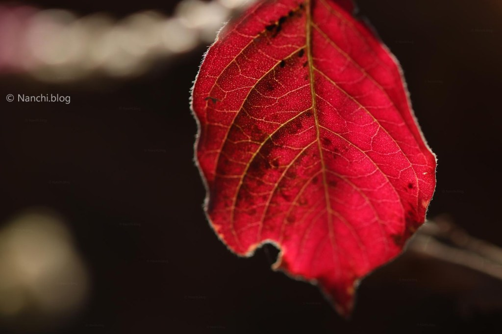 Red Leaf, Sinhagad Fort, Pune