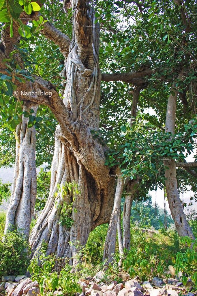 Tree, Bhangarh Fort, Jaipur, Rajasthan