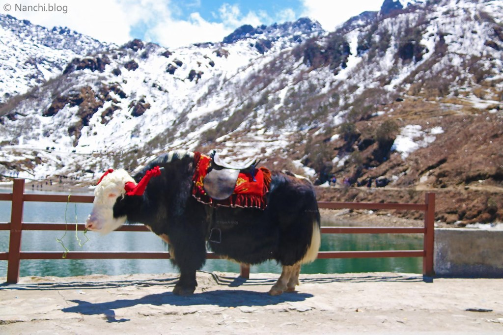 Yak, Tsomgo Lake, Changu Lake, Sikkim