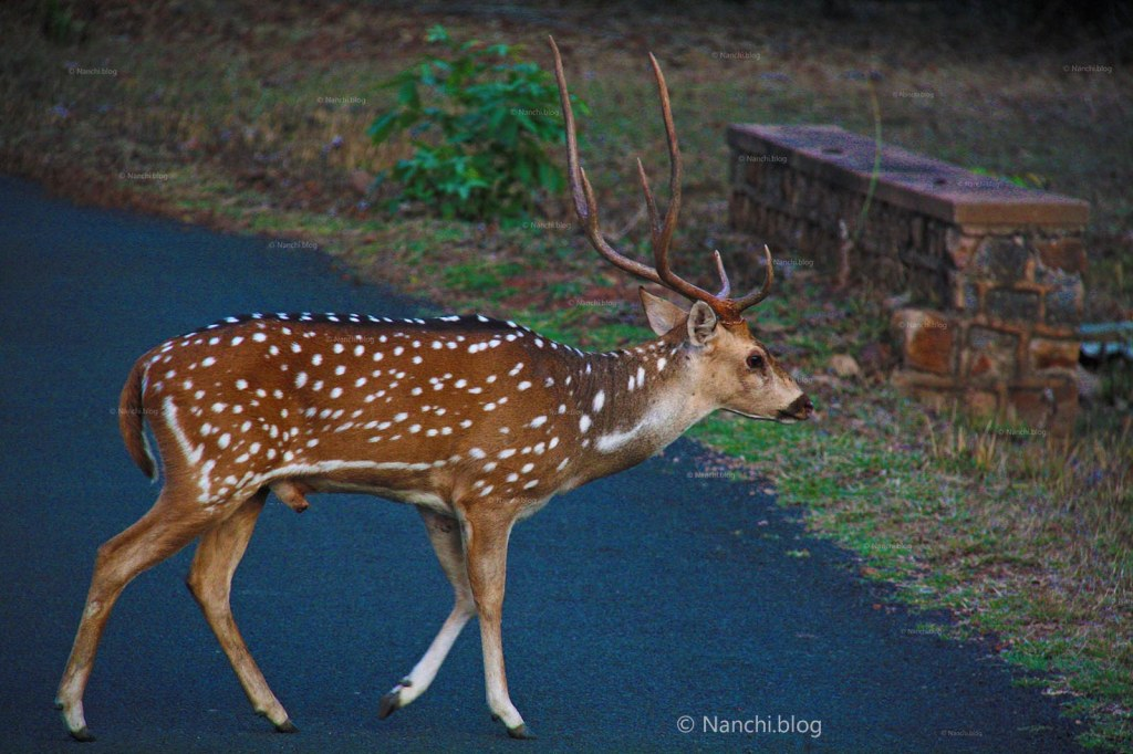 Chital, Male Spotted Deer, Tadoba Andhari Tiger Reserve, Chandrapur