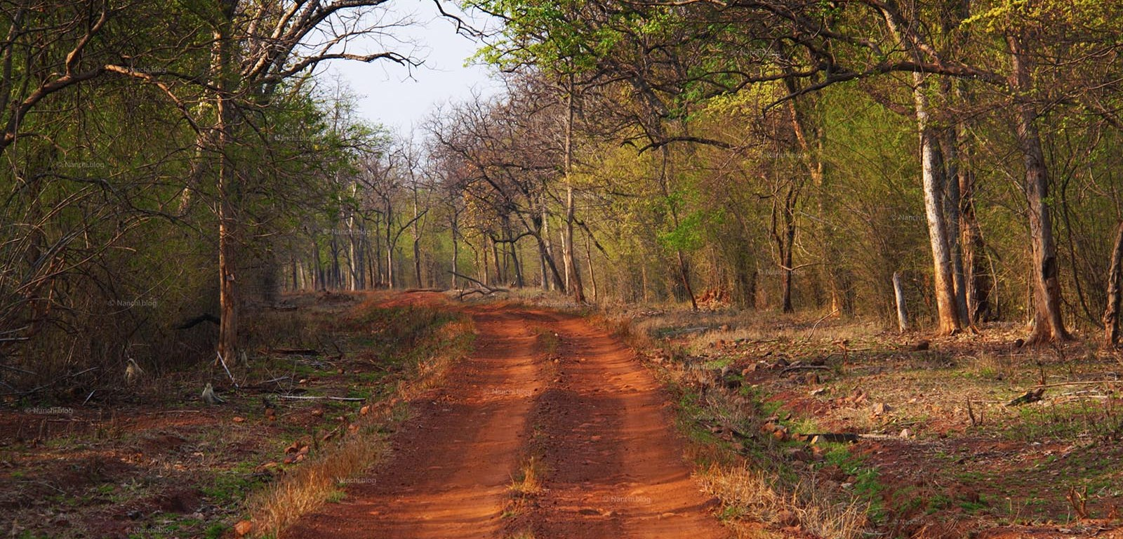 Evening Safari Path,Tadoba Andhari Tiger Reserve, Chandrapur