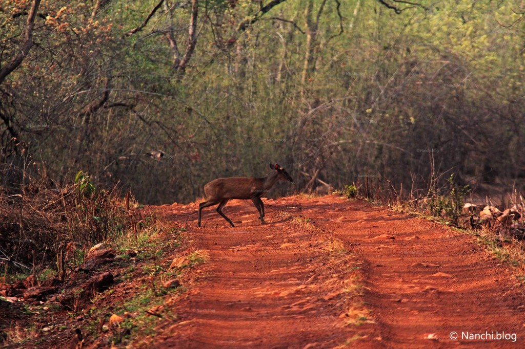 Fawn crossing path, Tadoba Andhari Tiger Reserve, Chandrapur
