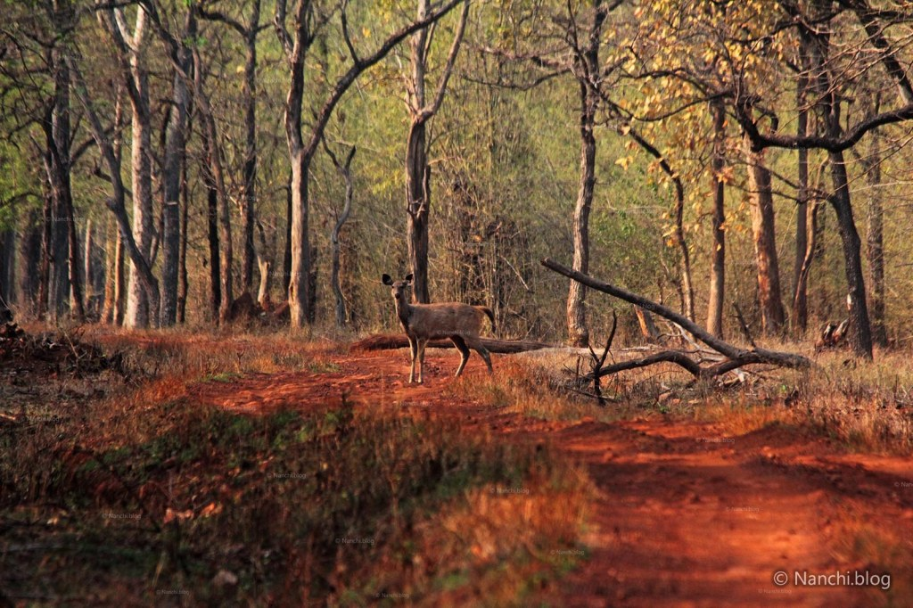 Female Sambar Deer sight, Tadoba Andhari Tiger Reserve, Chandrapur