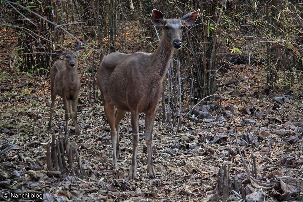 Female Sambar Deer, Tadoba Andhari Tiger Reserve, Chandrapur