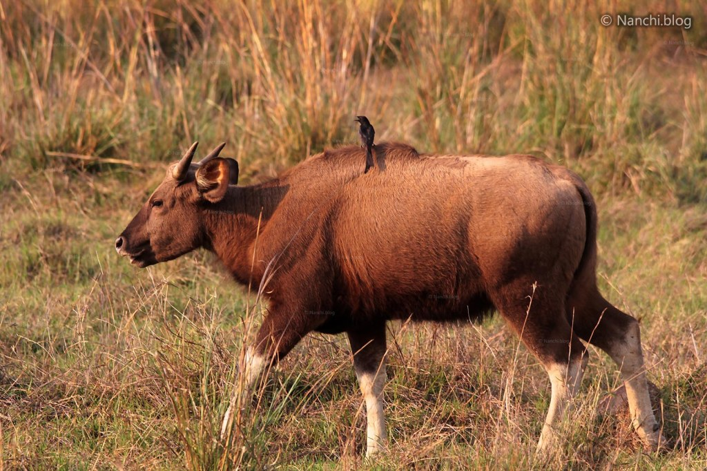 Juvenille Male Indian Bison, Tadoba Andhari Tiger Reserve, Chandrapur