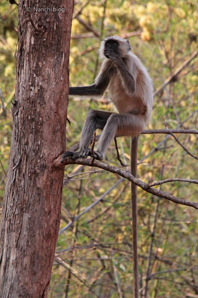 Langur sitting on the tree, Tadoba Andhari Tiger Reserve, Chandrapur
