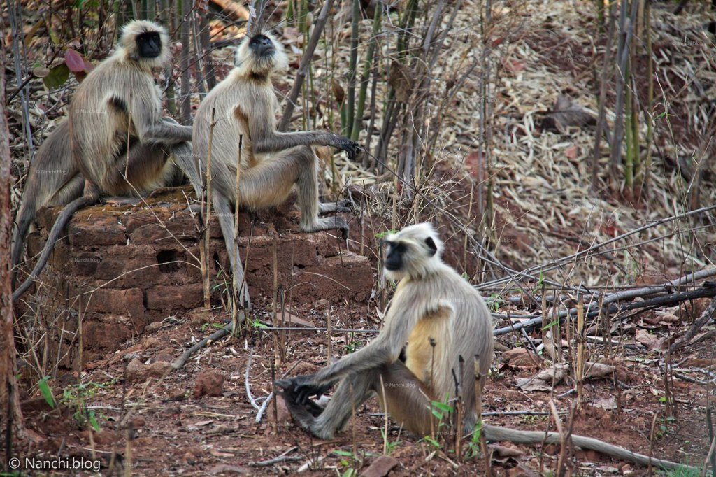 Langurs, Tadoba Andhari Tiger Reserve, Chandrapur