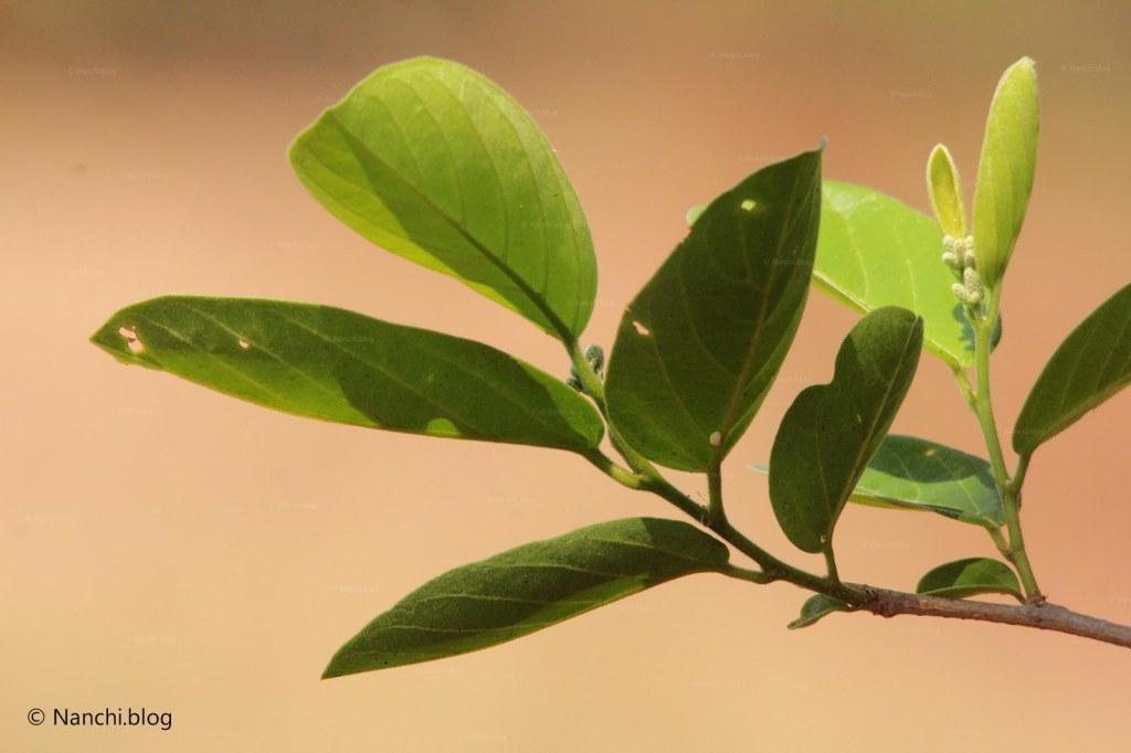 Leaves, Tadoba Andhari Tiger Reserve, Chandrapur, Maharashtra