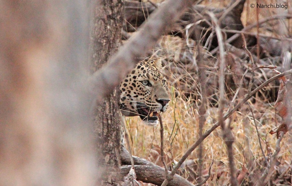 Leopard behind the tree, Tadoba Andhari Tiger Reserve, Chandrapur,