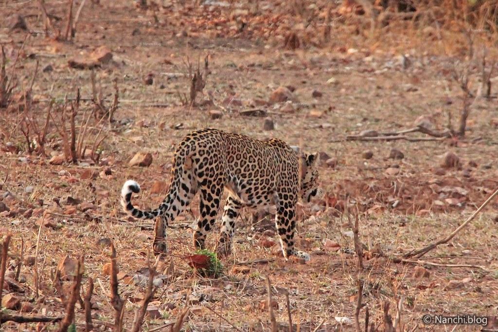Leopard Passing, Tadoba Andhari Tiger Reserve, Chandrapur