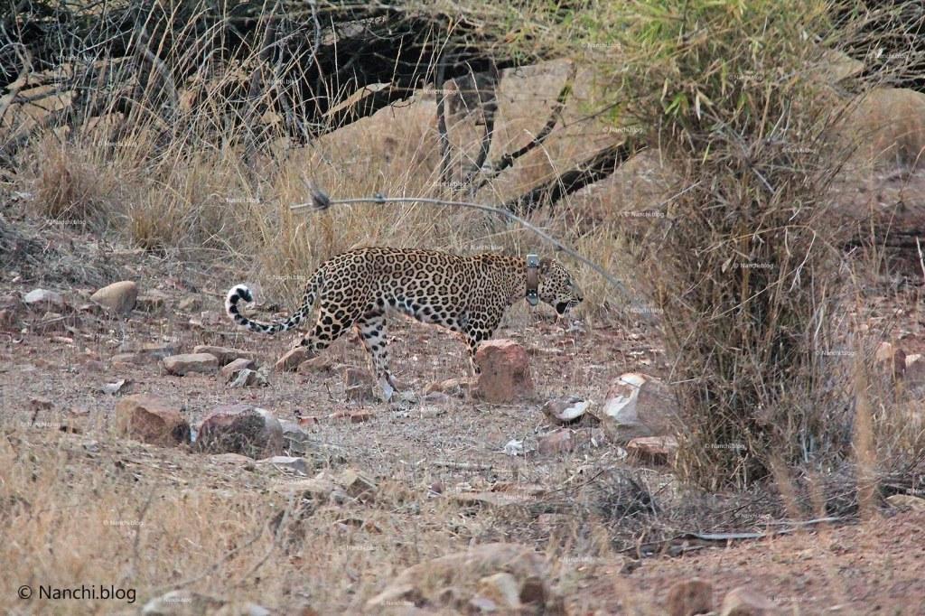 Leopard Sight, Tadoba Andhari Tiger Reserve, Chandrapur