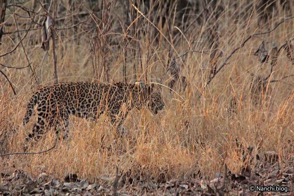 Leopard, Tadoba Andhari Tiger Reserve, Chandrapur