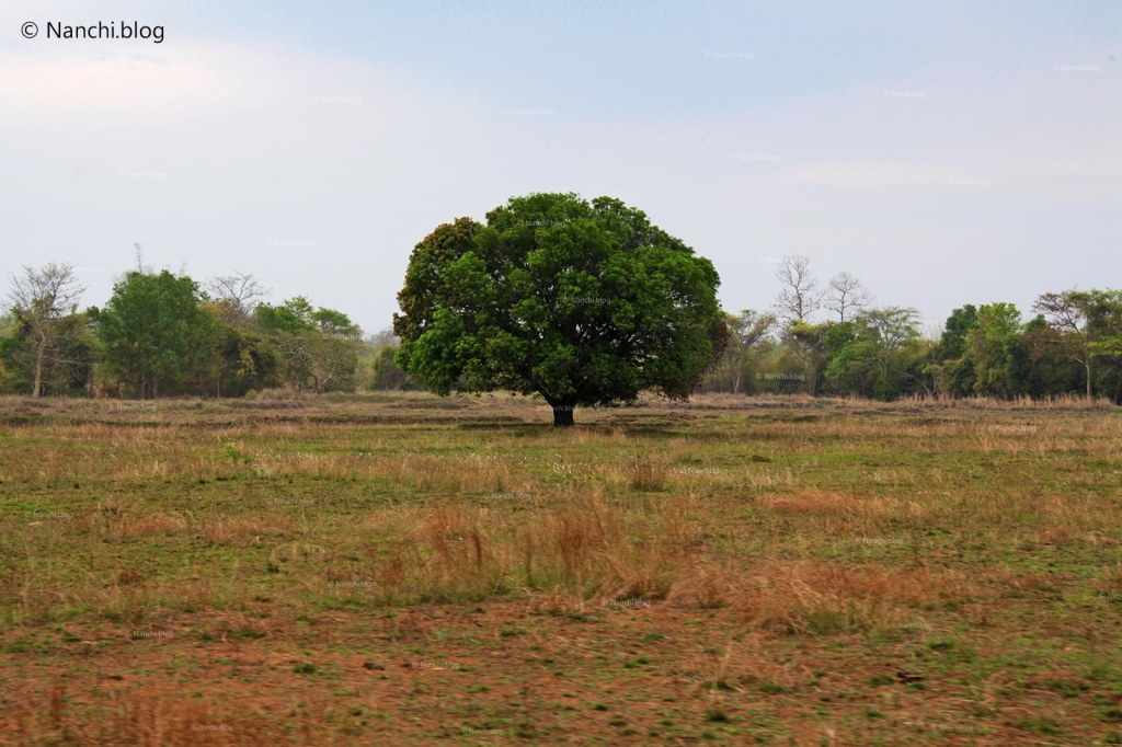 Lone Tree, Tadoba Andhari Tiger Reserve, Chandrapur, Maharashtra