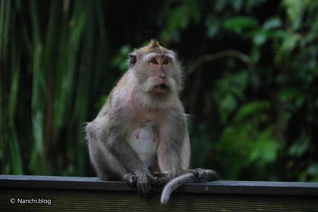 Monkey, Monkey Forest, Ubud, Bali • Nanchi's Fun Facts Friday!