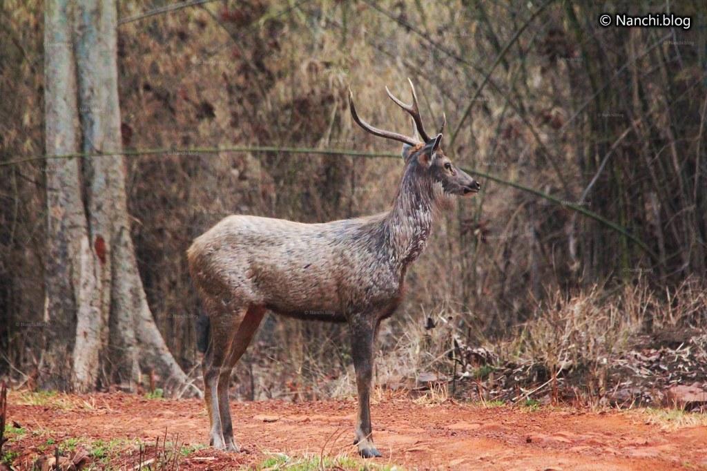 Sambar Deer, Tadoba Andhari Tiger Reserve, Chandrapur, Maharashtra