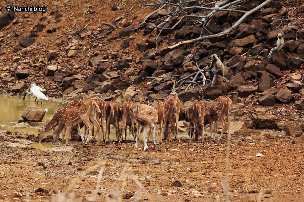 Spotted Deer drinking water, Tadoba Andhari Tiger Reserve, Chandrapur, Maharashtra