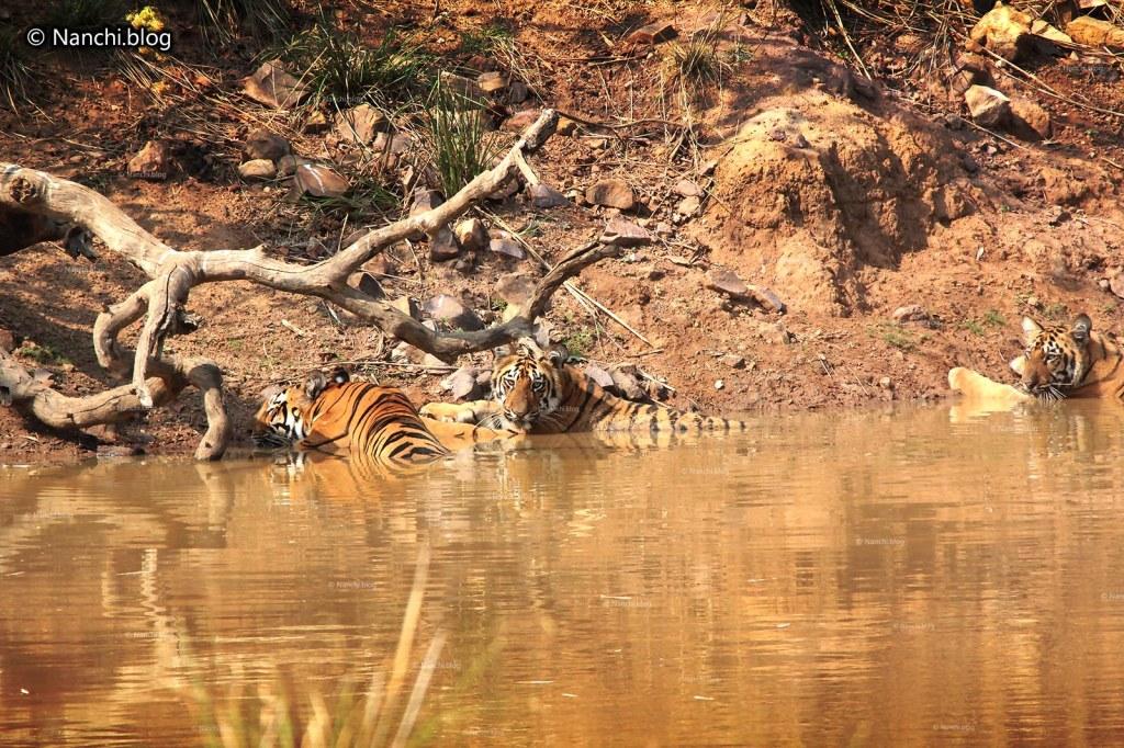Tiger Cubs, Tadoba Andhari Tiger Reserve, Chandrapur, Maharashtra