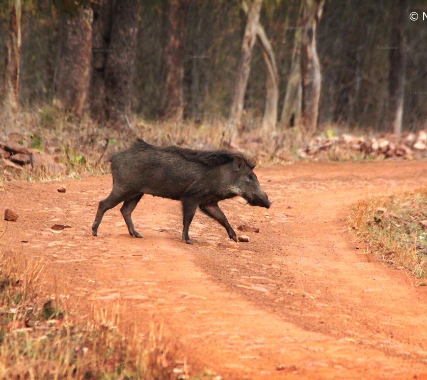 Wild Boar crossing the path, Tadoba Andhari Tiger Reserve, Chandrapur, Maharashtra