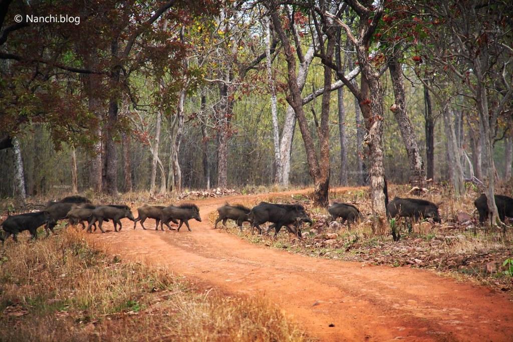 Wild Boars crossing, Tadoba Andhari Tiger Reserve, Chandrapur, Maharashtra