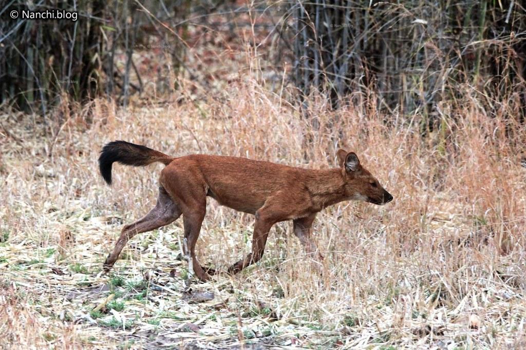 Asian Wild Dog, Dhole, Tadoba Andhari Tiger Reserve, Chandrapur, Maharashtra