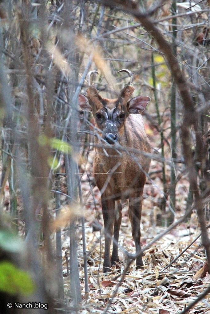 Barking Deer, Tadoba Andhari Tiger Reserve, Chandrapur, Maharashtra