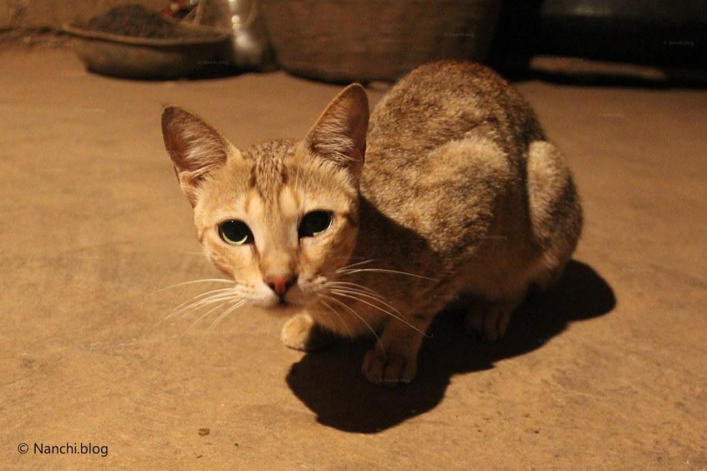 Cat, Bhorgiri, Pune, Maharashtra