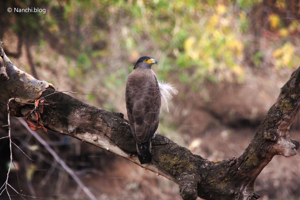 Common Buzzard Bird, Tadoba Andhari Tiger Reserve, Chandrapur, M