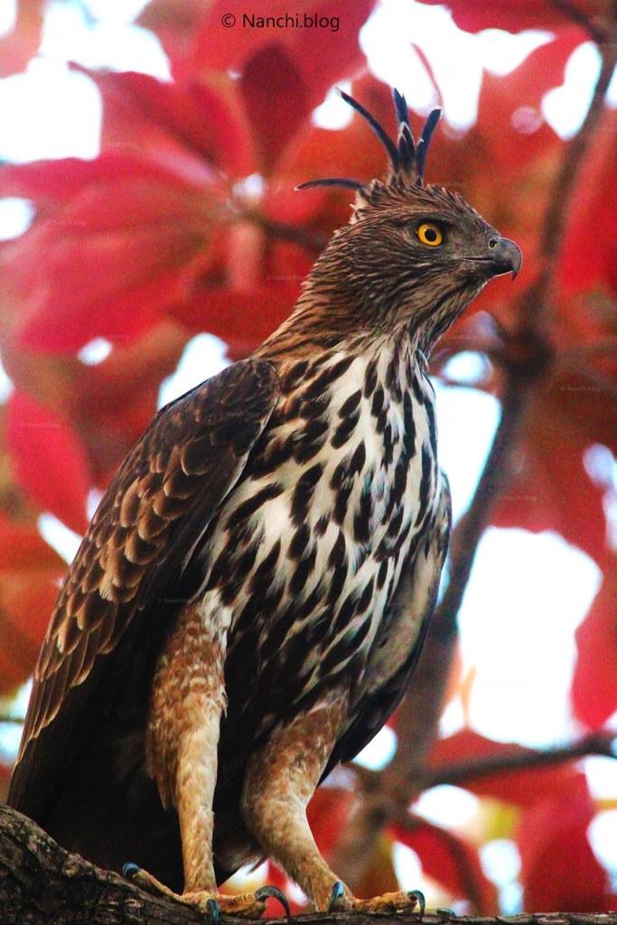 Crested Hawk Eagle, Close-up, Tadoba Andhari Tiger Reserve, Chandrapur, Maharashtra