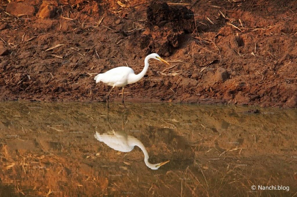 Egret, Tadoba Andhari Tiger Reserve, Chandrapur, Maharashtra
