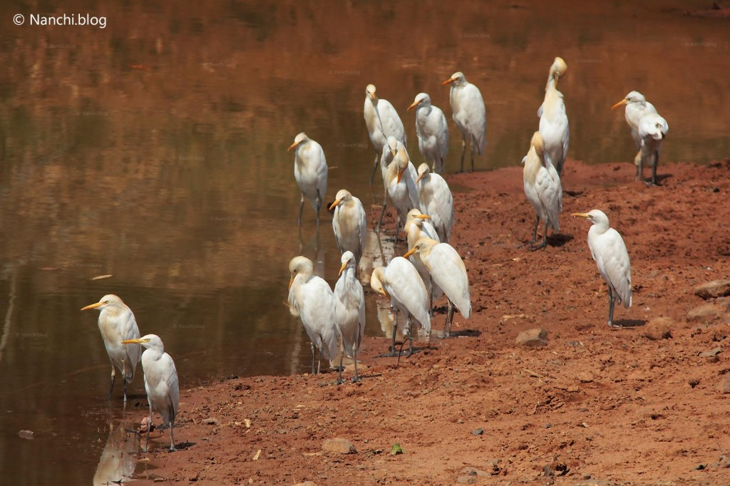 Egrets, Tadoba Andhari Tiger Reserve, Chandrapur, Maharashtra