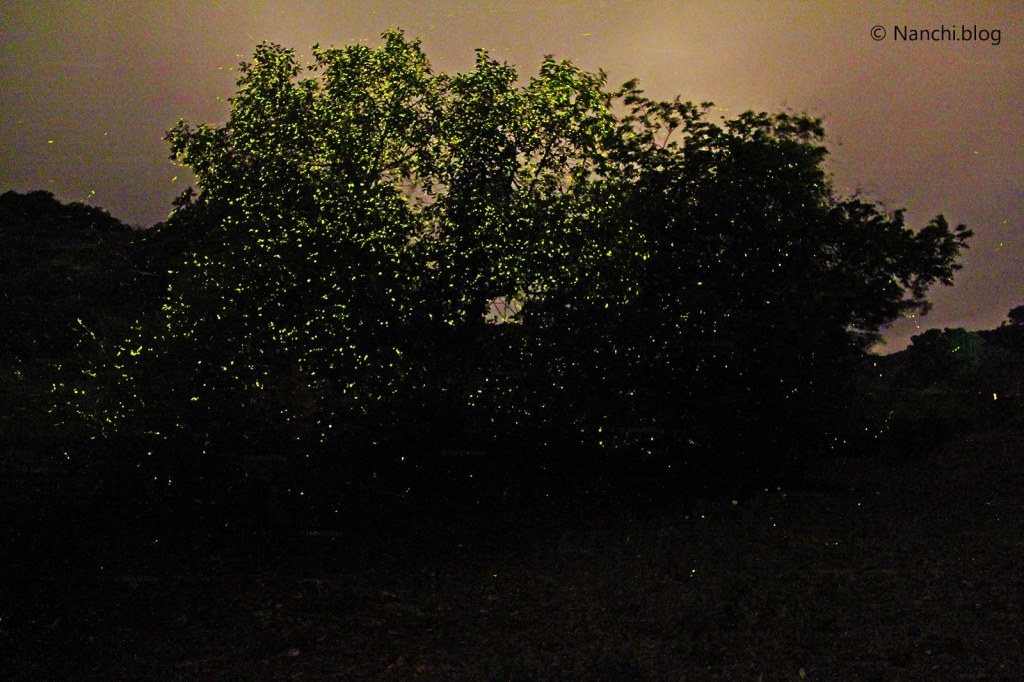 Fireflies on tree, Bhorgiri, Pune, Maharashtra