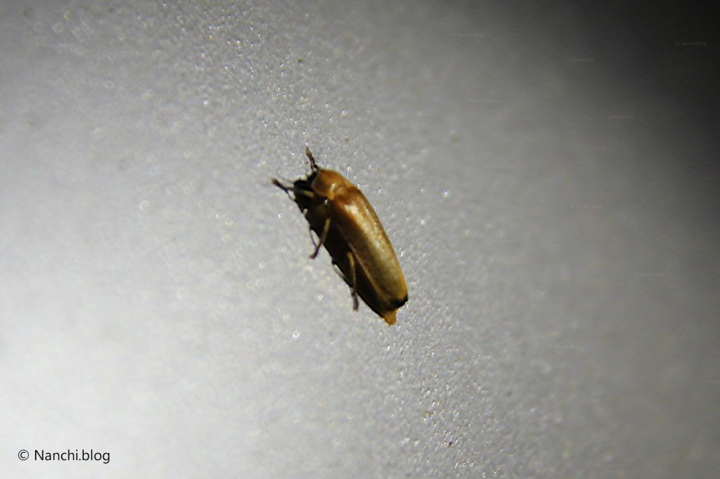 Firefly insect, Bhorgiri, Pune, Maharashtra