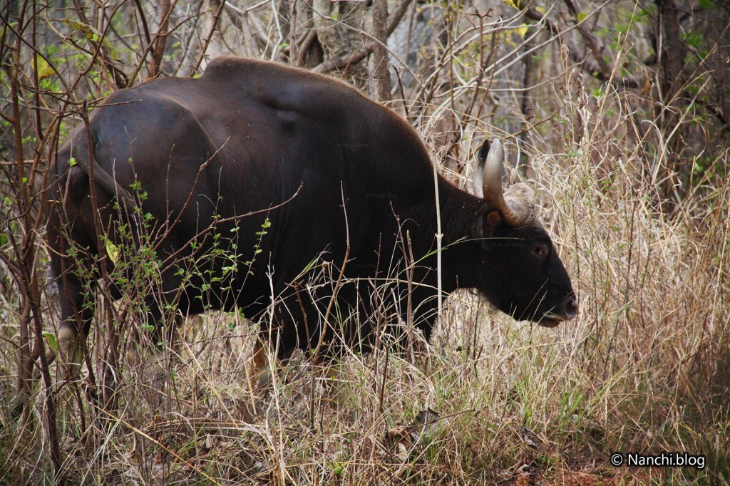 Indian Male Bison, Tadoba Andhari Tiger Reserve, Chandrapur, Maharashtra