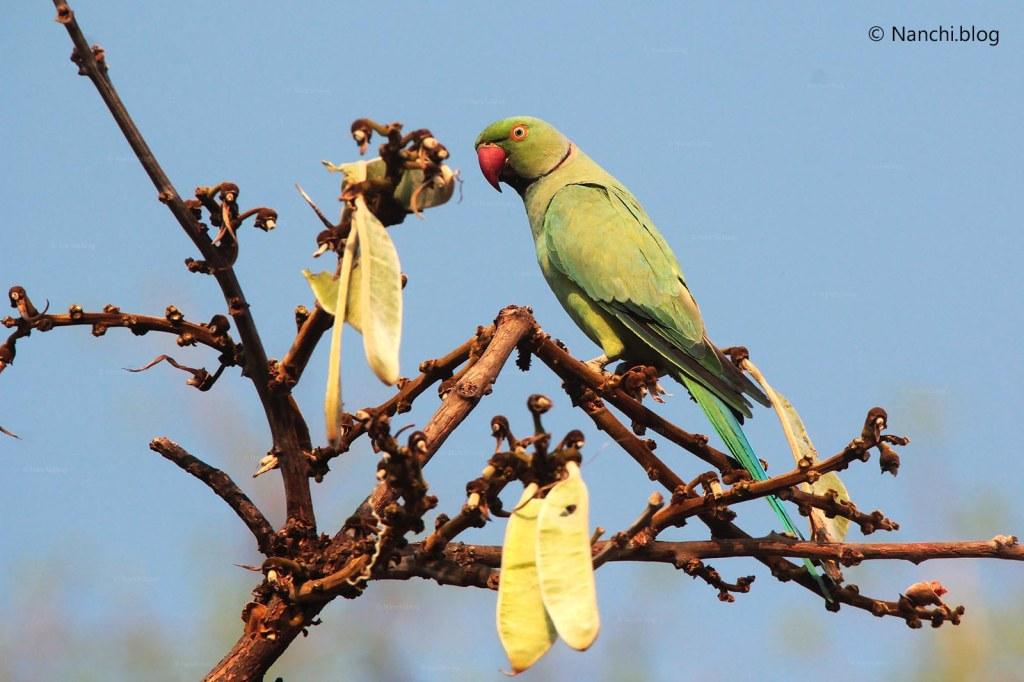 Indian Parakeet, Tadoba Andhari Tiger Reserve, Chandrapur, Maharashtra