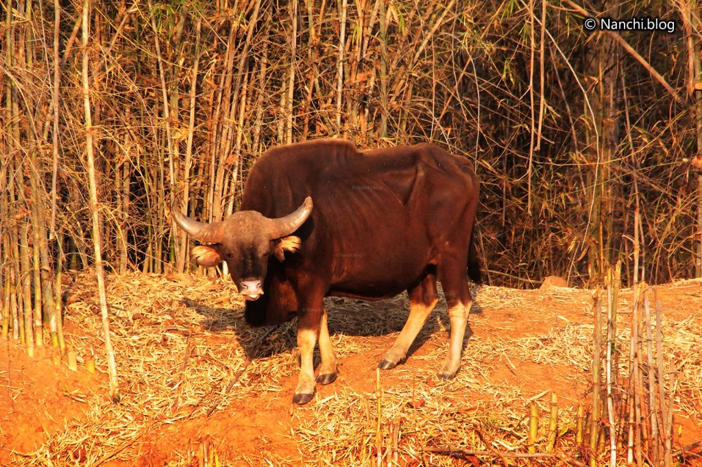 Male Bison, Tadoba Andhari Tiger Reserve, Chandrapur, Maharashtra