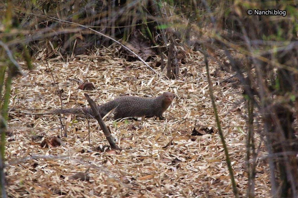 Mongoose, Tadoba Andhari Tiger Reserve, Chandrapur, Maharashtra