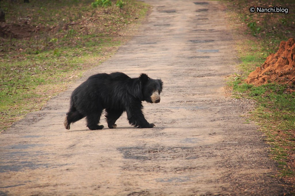 Moon Bear crossing path, Tadoba Andhari Tiger Reserve, Chandrapur, Maharashtra