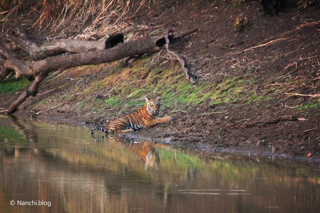Sitting Tiger, Tadoba Andhari Tiger Reserve, Chandrapur, Maharashtra