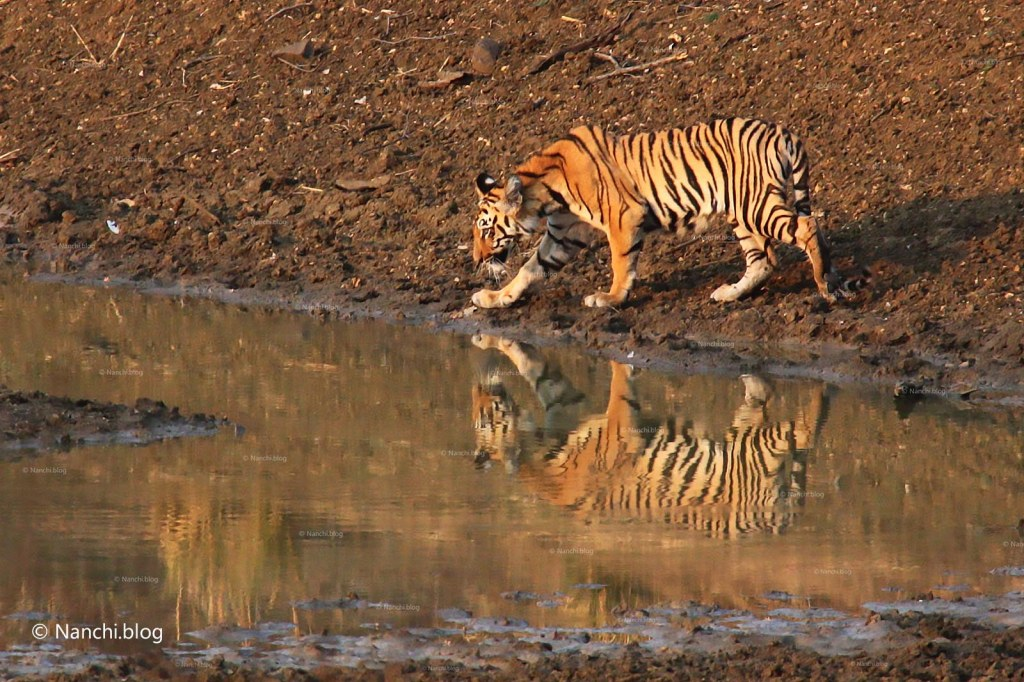 Tiger at water source, Tadoba Andhari Tiger Reserve, Chandrapur, Maharashtra