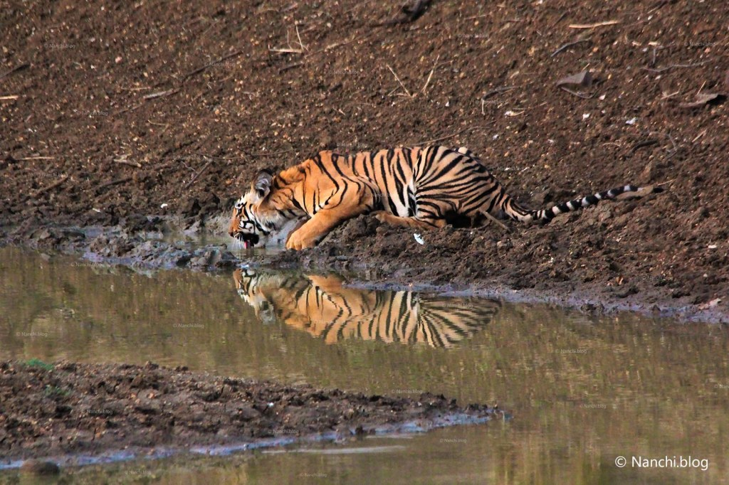 Tiger drinking water close-up, Tadoba Andhari Tiger Reserve, Chandrapur, Maharashtra