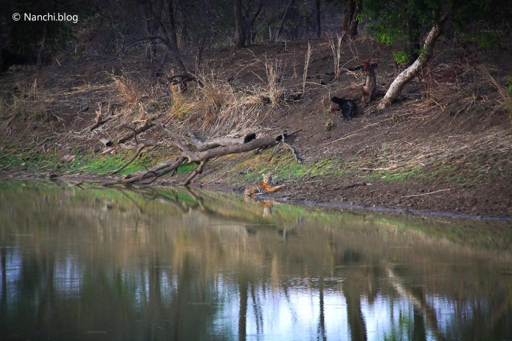 Tiger sitting near water, Tadoba Andhari Tiger Reserve, Chandrapur, Maharashtra