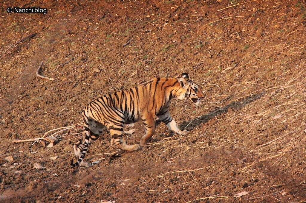 Tiger, Tadoba Andhari Tiger Reserve, Chandrapur, Maharashtra