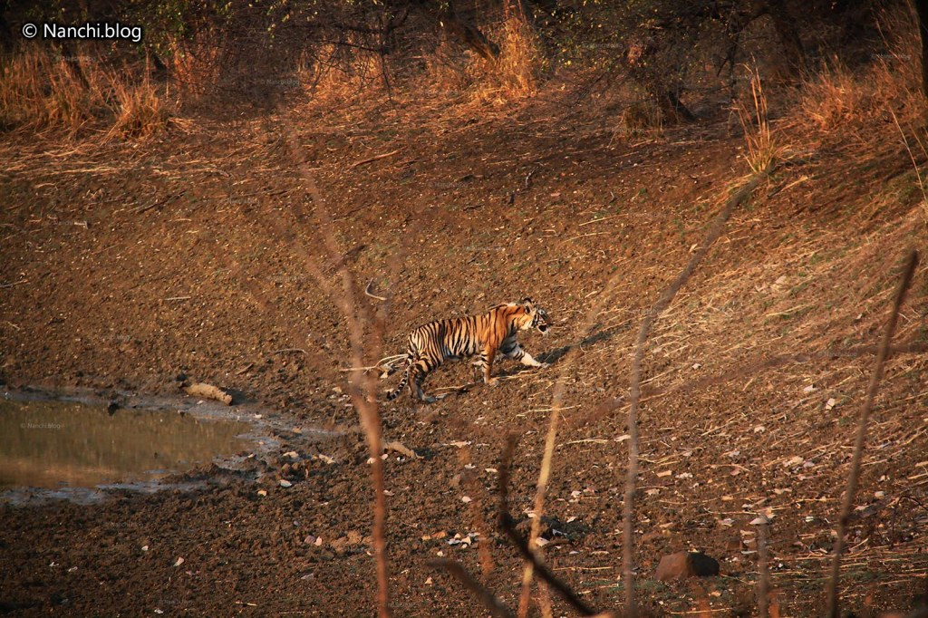 Tiger walking by, Tadoba Andhari Tiger Reserve, Chandrapur, Maharashtra