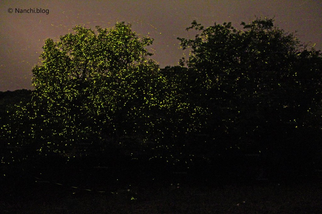 Tree illuminated with Fireflies, Bhorgiri, Pune, Maharashtra