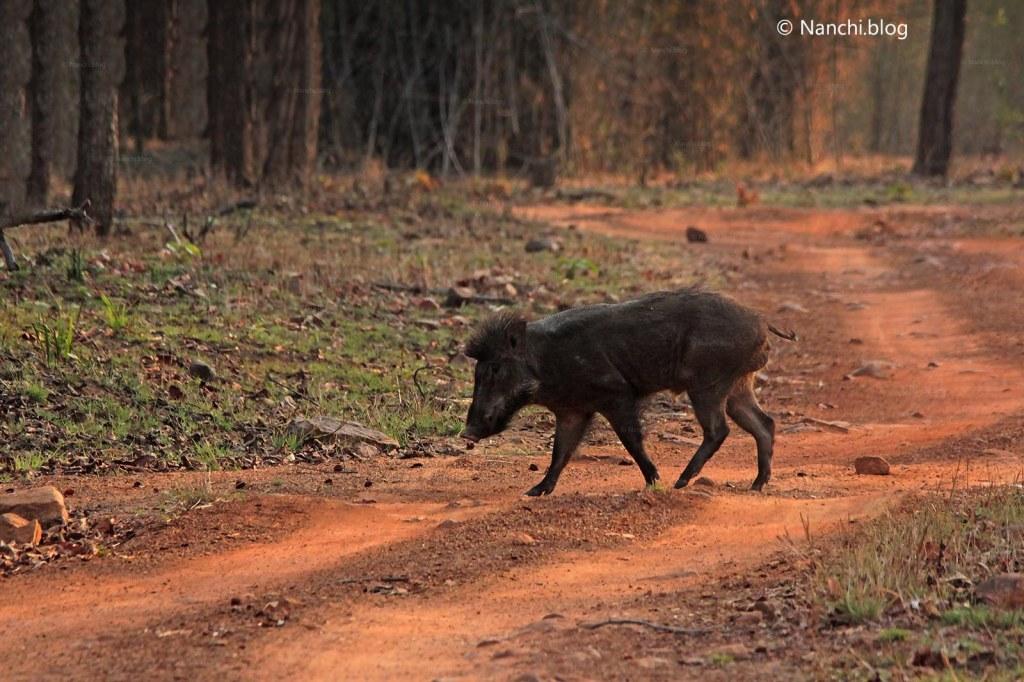 Wild Boar, Tadoba Andhari Tiger Reserve, Chandrapur, Maharashtra