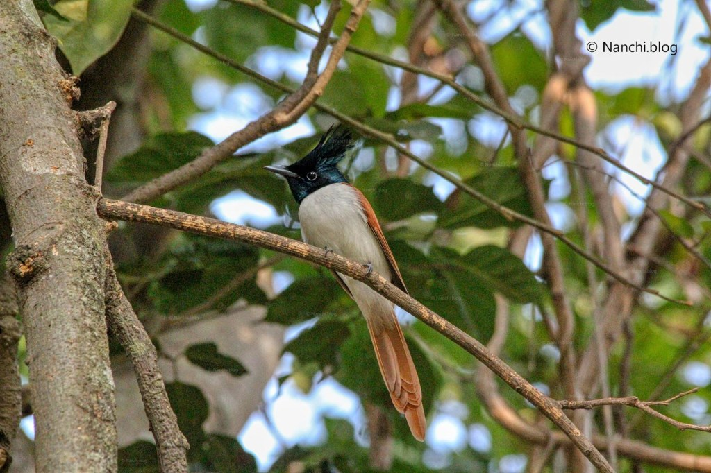 Asian Paradise Flycatcher Bird, Sinhagad Valley, Pune