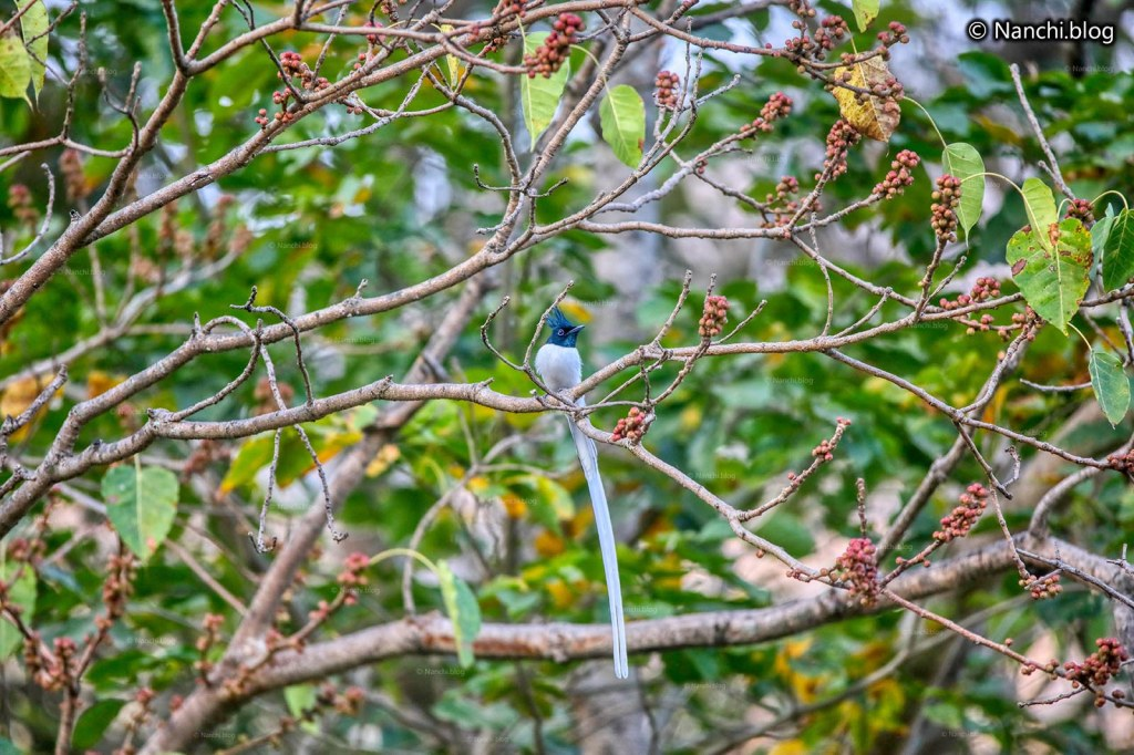 Asian Paradise Flycatcher Male, Sinhagad Valley, Pune