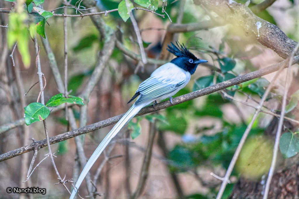 Asian Paradise Flycatcher, Sinhagad Valley, Pune