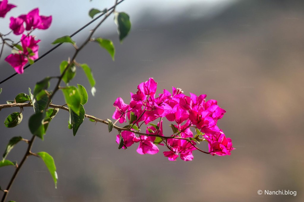 Bougainvillea, Sinhagad Valley, Pune